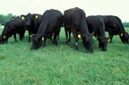 beefcows2in72dpi