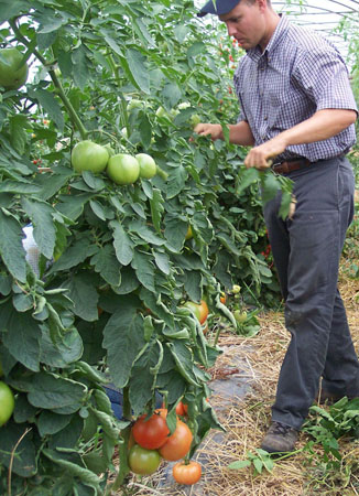 Cornell Vegetable Specialist Judson Reid checks high tunnel tomatoes.