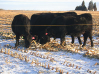 Researchers with 2015-16 Northern New York Agricultural Development Program funding will be evaluating tools to increase the competitiveness and profitability of beef stocker operations; photo: Don Tanaka, USDA