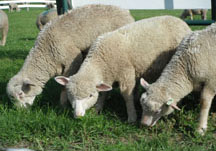 Sheep grazing at CCE St. Lawrence Extension Learning Farm in Canton, NY, photo: Betsy Hodge;