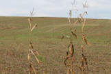Could this field grow a 2nd crop, perhaps winter rye?