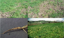 Signs of alfalfa snout beetle infestation; photo: Cornell University