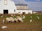 Sheep at Downing Acres, Burke, NY.