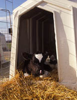 One of 27 new Northern New York Agricultural Development Program projects will evaluate the impact of dairy calf housing on calf respiratory health; photo: USDA ARS