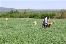 A Cornell University field technician stakes a double cropping trial for sampling. Photo: Cornell University NMSP