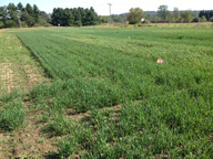 This photo shows the Northern New York Agricultural Development Program-funded oat forage trial at Canton, NY, on September 16, 2015, 43 days after planting. The forage variety plots were heavily impacted by crown rust; grain variety oat plots are less visibly diseased. Photo: K. O'Neil