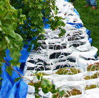 Cold-climate grape trial harvest at Willsboro Research Farm, Willsboro, NY. Photo: Kevin Iungerman