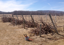 Vine removal at the Willsboro Research Farm, 2016. Photo: D. Wilfore.