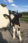 Development of a calf health risk assessment tool for NNY dairy farms is among 24 research projects receiving 2017 Northern New York Agricultural Development Program grants. Photo: Kayla Hultquist/Miner Institute