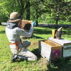 Cornell University Honey Bee Extension Associate Emma Kate Mullen inspects a hive in Northern New York. Photo: Mary Kate Wheeler.