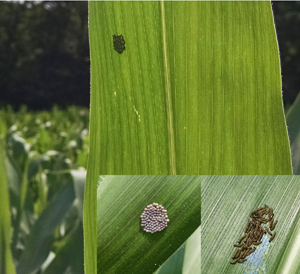 Western Bean Cutworm egg mass shadow, hatched larva, egg mass, July 2017; photos: Michael Hunter, CCE Jefferson County
