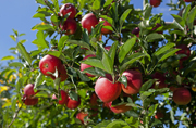 Photo of apples on tree