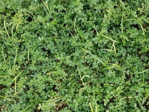 Photo of alfalfa-meadow fescue planting