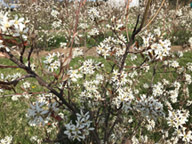 Photo of juneberry bush